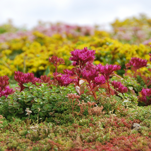 Sempergreen Sedum mix