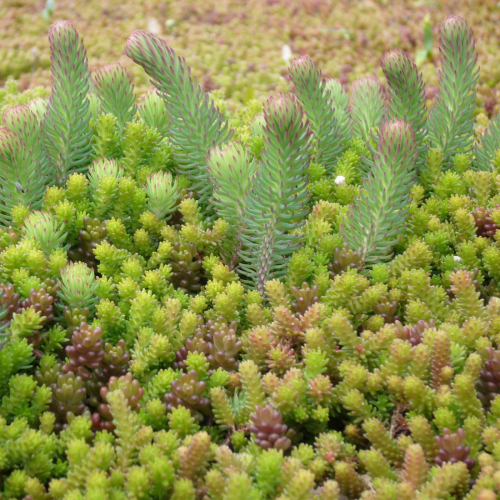 Sempergreen Sedum mix Typ T